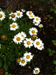 Daisies in the Rain